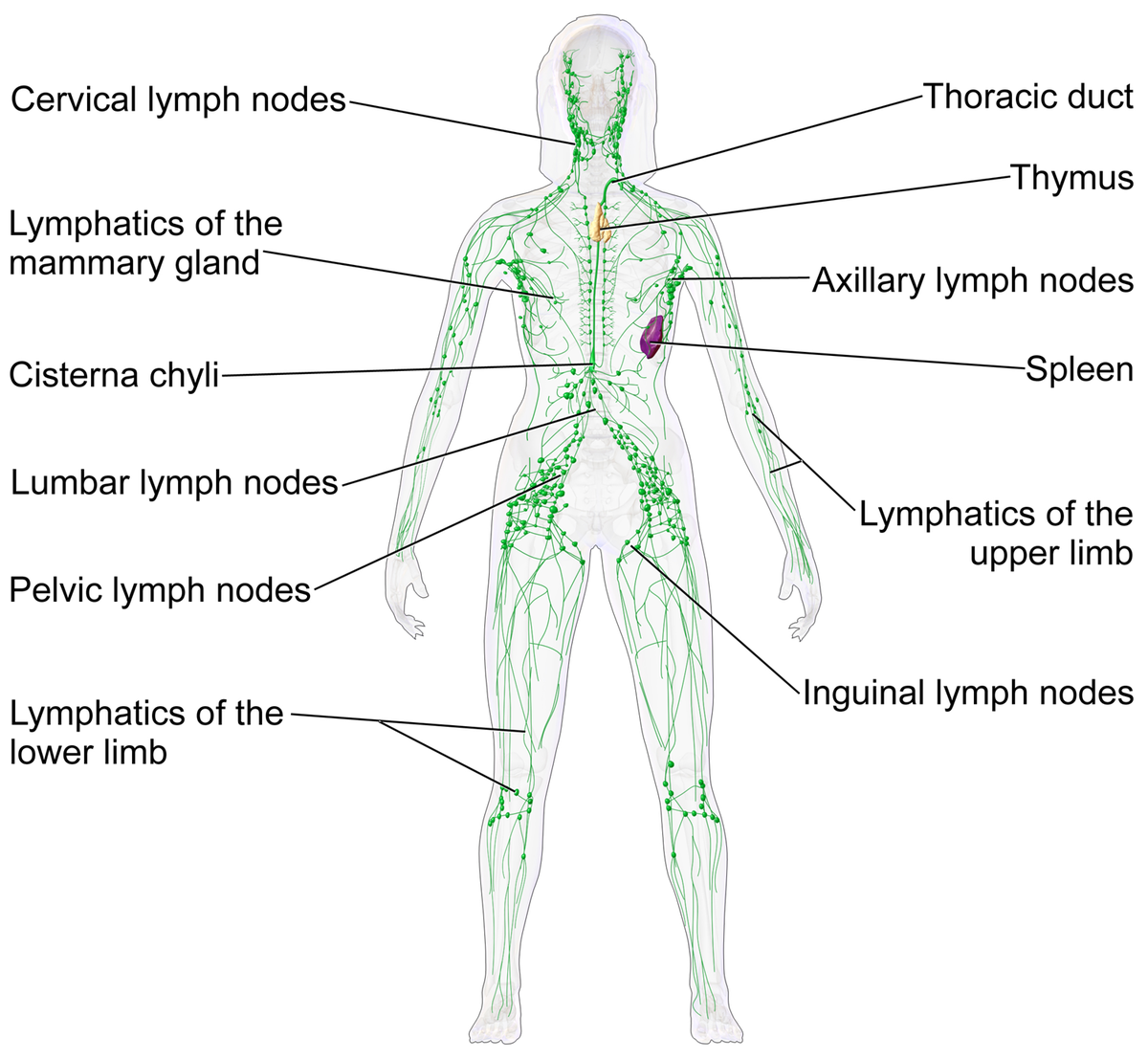 1200px-Blausen_0623_LymphaticSystem_Female.png